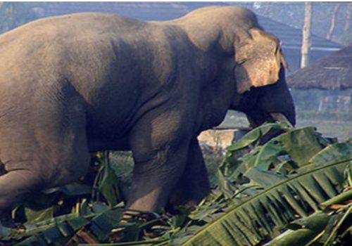 भारतीय हात्तीले धानबाली नष्ट