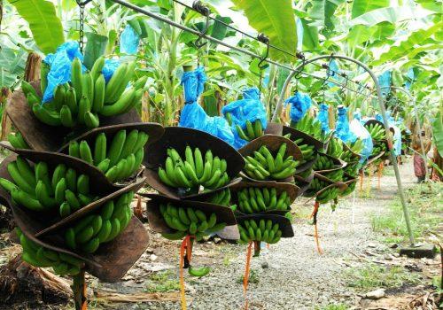 धान फल्ने खेतमा केरा खेती: अन्नबालीको तुलनमा पाँच गुणा बढी आम्दानी